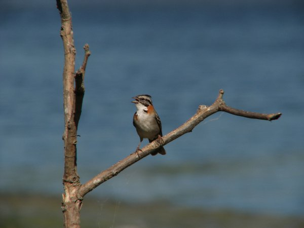 Photo (8): Rufous-collared Sparrow