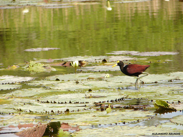 Photo (16): Northern Jacana