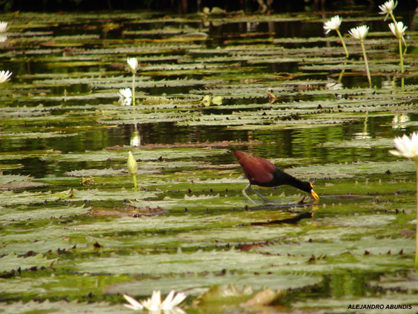 Photo (19): Northern Jacana