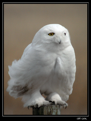 Photo (3): Snowy Owl