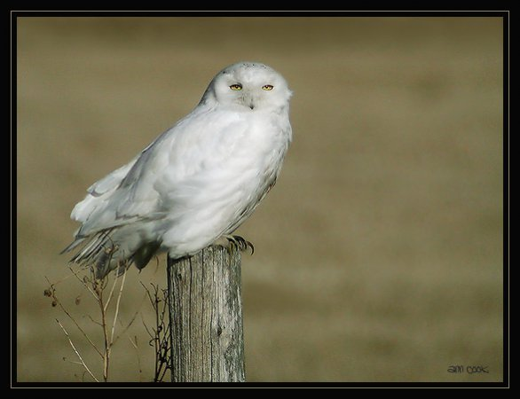 Photo (4): Snowy Owl