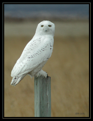 Photo (5): Snowy Owl