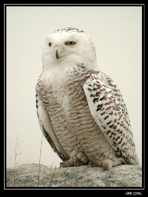 Photo (6): Snowy Owl