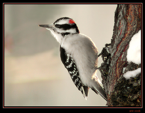 un oiseau à découvrir -ajonc- 6 janvier bravo Martine AC-2631-Picoides_pubescens
