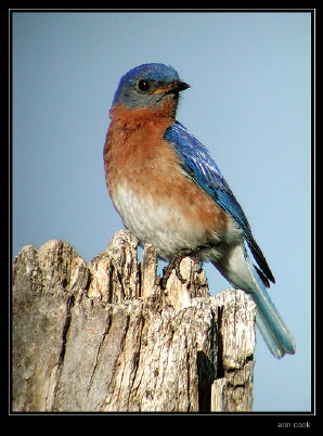 Photo (12): Eastern Bluebird