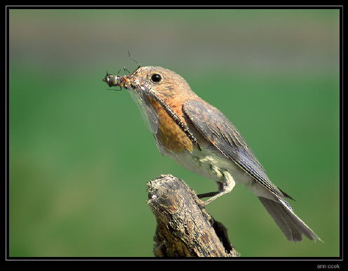 Photo (4): Eastern Bluebird