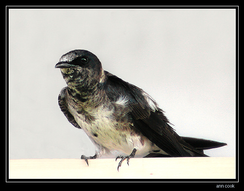 Photo (4): Purple Martin