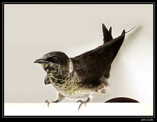 Photo (5): Purple Martin