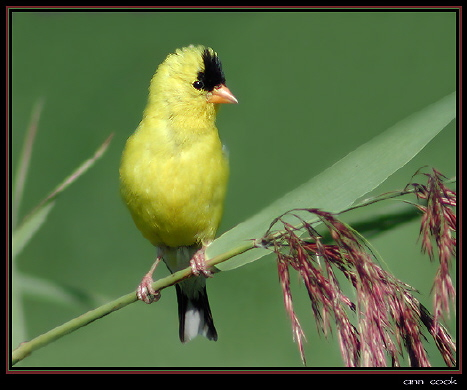 Photo (1): American Goldfinch