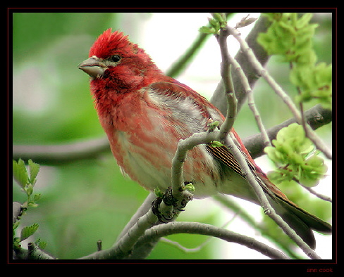 Photo (1): Purple Finch