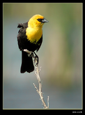 Photo (4): Yellow-headed Blackbird