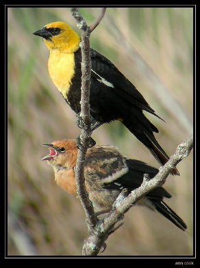 Photo (7): Yellow-headed Blackbird