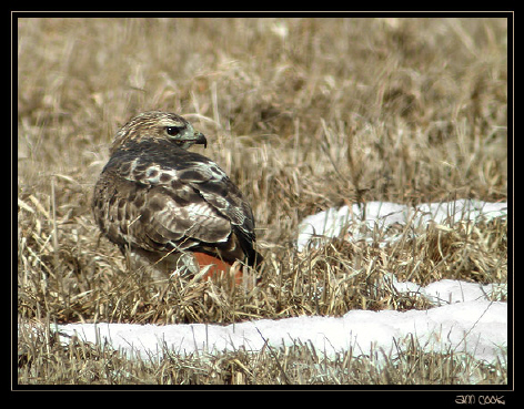 Photo (8): Red-tailed Hawk