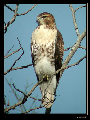 Photo (1): Red-tailed Hawk