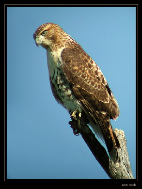 Photo (4): Red-tailed Hawk
