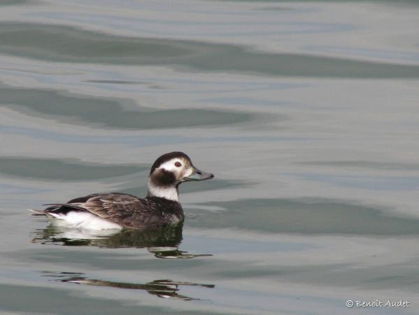 Photo (2): Long-tailed Duck