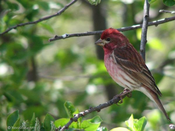 Photo (5): Purple Finch