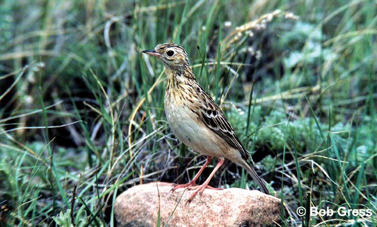 Photo (1): Sprague's Pipit