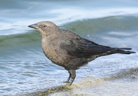 Photo (22): Brewer's Blackbird