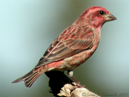 Photo (3): Purple Finch