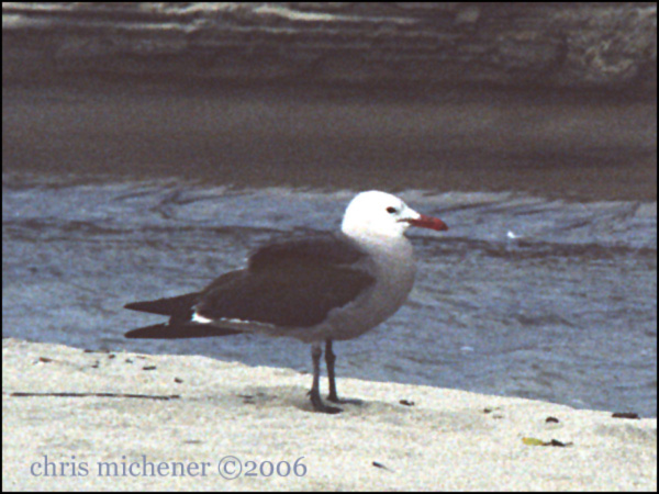 Photo (5): Heermann's Gull