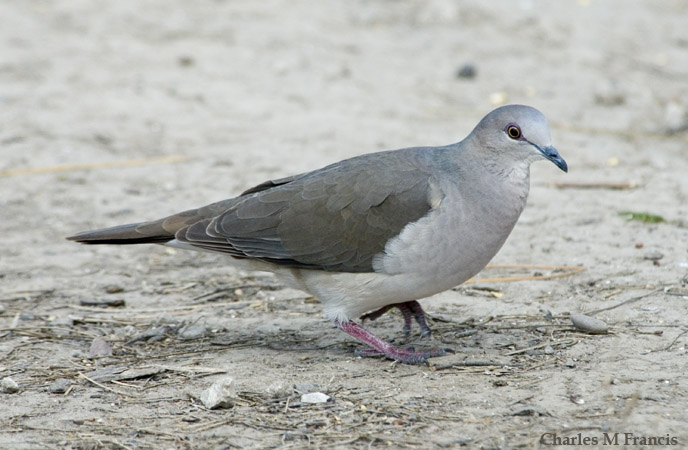 Photo (2): White-tipped Dove