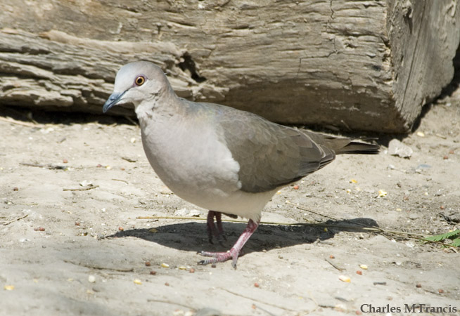 Photo (3): White-tipped Dove
