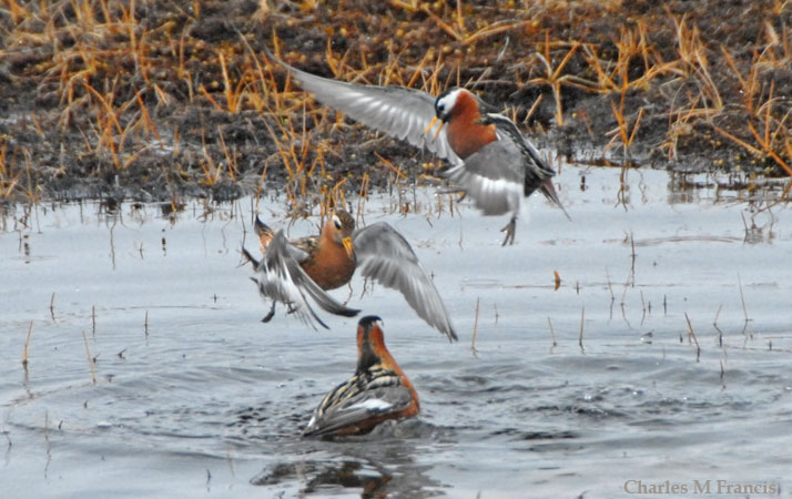 Photo (7): Red Phalarope