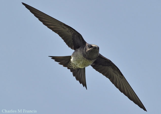 Photo (3): Purple Martin