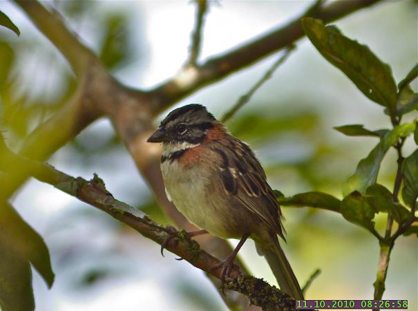 Photo (2): Rufous-collared Sparrow