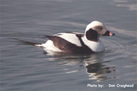 Photo (10): Long-tailed Duck