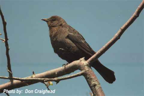 Photo (10): Brewer's Blackbird