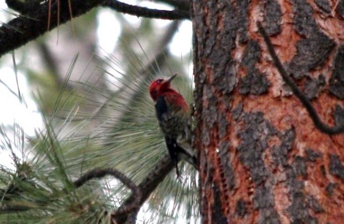Photo (4): Red-breasted Sapsucker