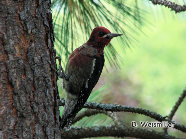 Photo (3): Red-breasted Sapsucker