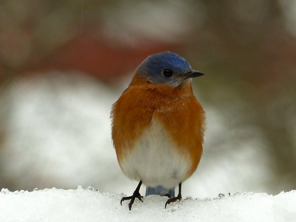 Photo (14): Eastern Bluebird