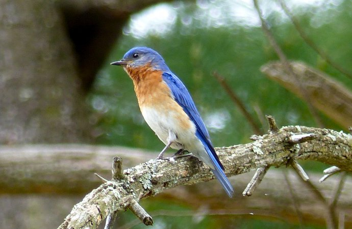 Photo (21): Eastern Bluebird