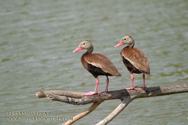 Photo (4): Black-bellied Whistling-Duck