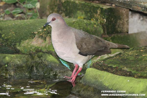 Photo (1): White-tipped Dove
