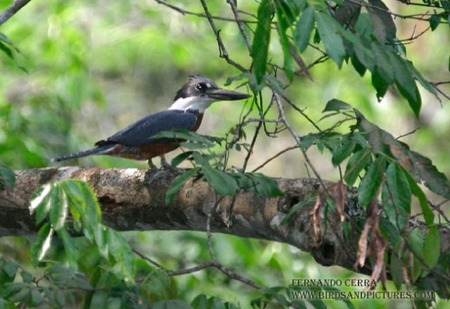 Photo (4): Ringed Kingfisher