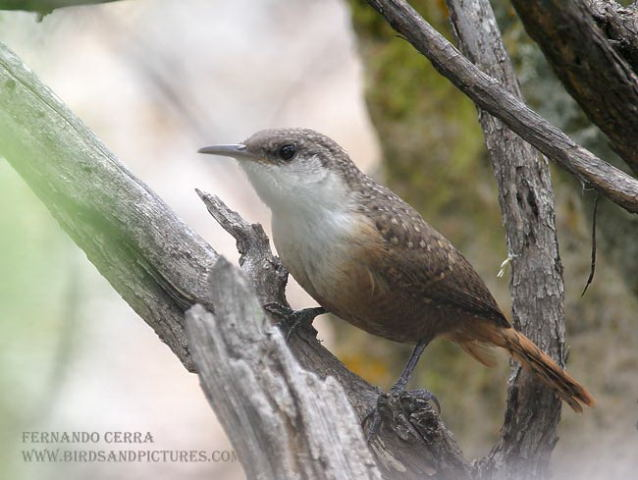 Photo (5): Canyon Wren