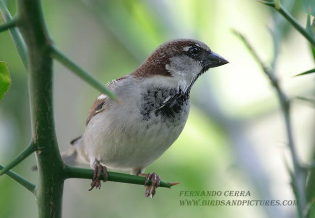 Photo (3): House Sparrow