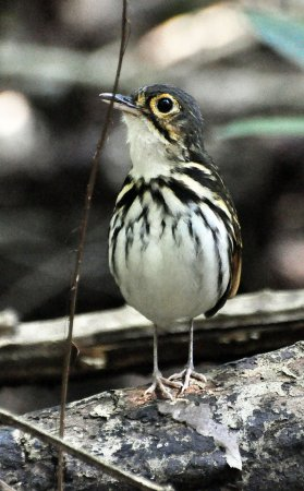 Photo (2): Streak-chested Antpitta