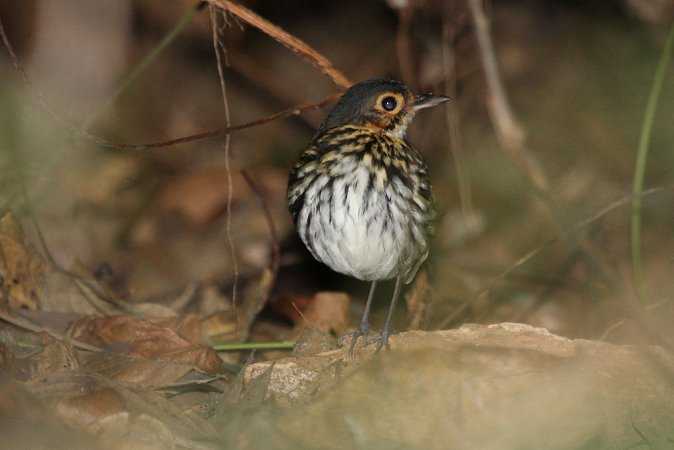 Photo (3): Streak-chested Antpitta