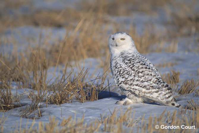Photo (8): Snowy Owl