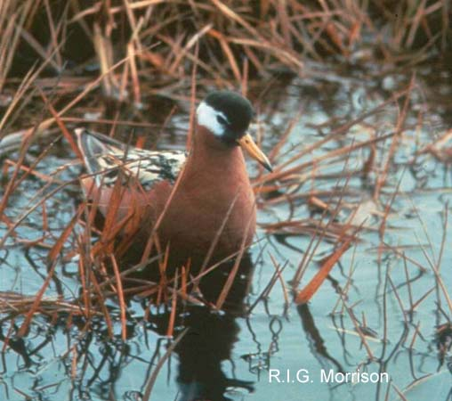 Photo (5): Red Phalarope
