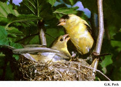 Photo (18): American Goldfinch