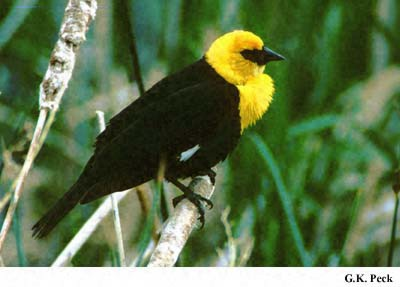Photo (5): Yellow-headed Blackbird