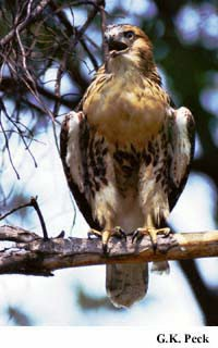 Photo (12): Red-tailed Hawk