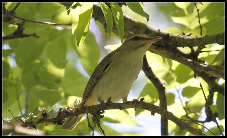 Photo (1): Black-whiskered Vireo