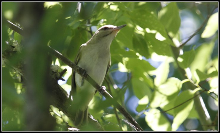 Photo (2): Black-whiskered Vireo